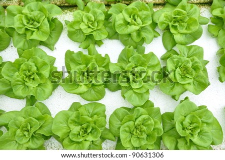 growing hydrophonic plant