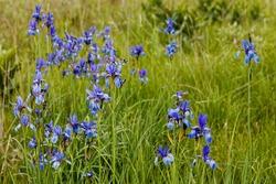 Growing in natural site blue Siberian iris (Iris sibirica) flowering plant. Bagno Bubnow swamp in Poland, Europe.