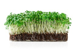 Growing micro greens arugula sprouts with potted soil isolated on white background. Clipping path