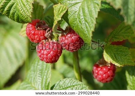 Growing natural bush of raspberry.