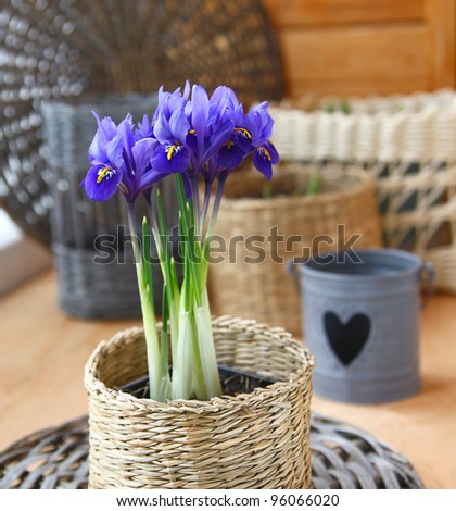 Growing of spring flowers (irises and tulips) in pots on a balcony in expectant of spring