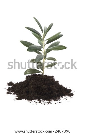Growing olive in soil