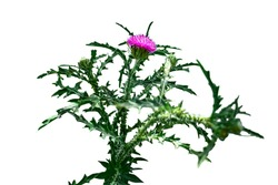 Growing Onopordum bush close-up isolated on white background. Raster clipart of thorny cottonthistle plant with green leaves and purple flower