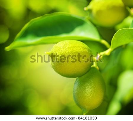 Growing Organic Lemons