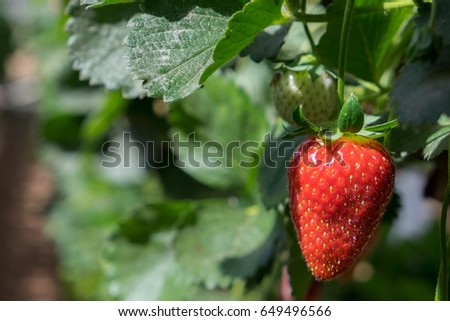Growing organic sweet hydroponic Strawberries in greenhouse. Israel #649496566