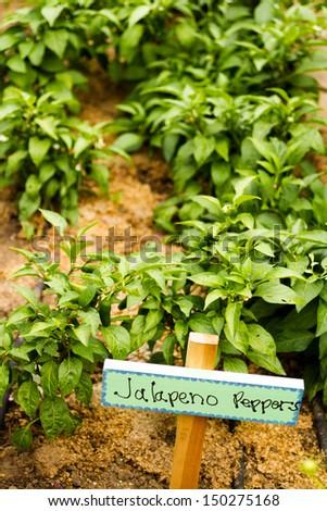 Growing peppers in organic vegetable garden.