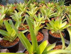 Growing pineapple plants in pots
