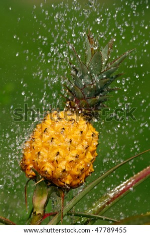 Growing Pineapple under the water sprinkler