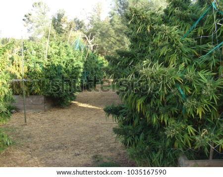 Growing plants of marijuana in the country in California, USA #1035167590