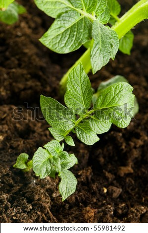 growing potato. baby plant in soil