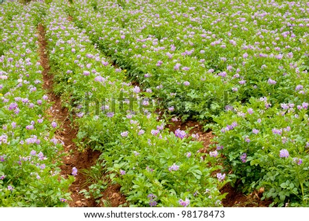 Growing potatoes in the Peruvian Andes
