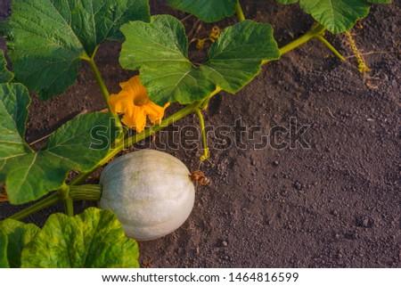 Growing pumpkins in the garden. A small light pumpkin grows on the ground #1464816599