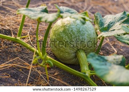 Growing pumpkins in the garden. A small light pumpkin grows on the ground #1498267529
