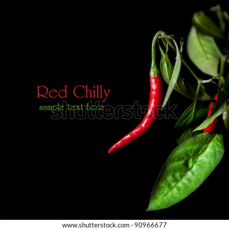 Growing red chilly with leaves at black background. Free space for sample text and can be used as template