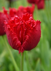 Growing red tulip outdoors. Fringed Tulip Flower. Grade Mazda.