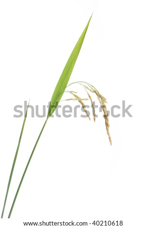 Growing rice on white background