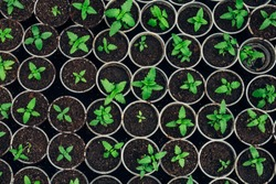Growing seedlings in peat pots. Plants seeding in sunlight in modern botany greenhouse, horticulture and cultivation of ornamental plans, top view