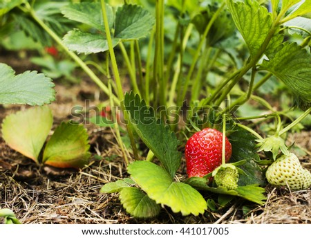 Growing strawberry in the garden, with a nice red color. #441017005