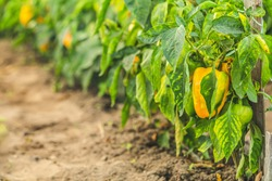 Growing sweet peppers, photo with perspective. Fresh juicy yellow green peppers on the branches close-up. Agriculture - large crop of pepper