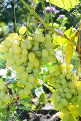 Growing table grape: A close-up on large clusters of ripe Pleven table grapevine. Large green grape clusters in the vineyard.