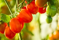 Growing Tomato,Vine ripe tomatoes, red tomatoes growing in the garden in the park, The sun shines, grape, cherry, Italia, fruit, vine.