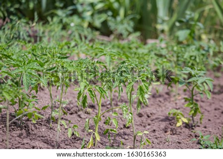 Growing tomatoes on bed in raw in field in spring. green seedling of tomatoes growing out of soil. Densely planted young tomato plants ready for planting.