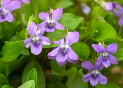 Growing wild common violet plant (wood violet, viola odorata, dog wild violet, viola hirta, viola sororia, sweet violet, Queen Charlotte flower). Closeup, low key