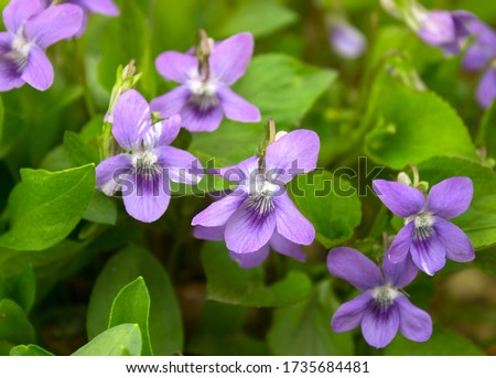 Photo of  Growing wild common violet plant (wood violet, viola odorata, dog wild violet, viola hirta, viola sororia, sweet violet, Queen Charlotte flower). Closeup, low key