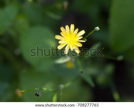 growing wild Nipplewort yellow Lapsana communis green leaves; Essex; England; UK #708277765