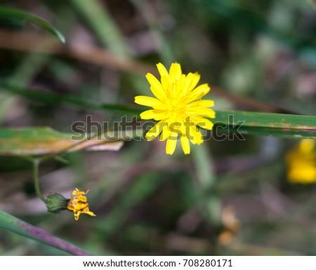 growing wild Nipplewort yellow Lapsana communis green leaves; Essex; England; UK #708280171