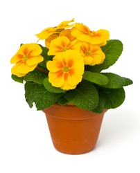 growing yellow primula flower isolated on white background