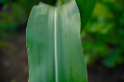 Growing Young Green Corn Seedling , Maize seedling in the agricultural field