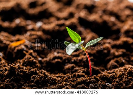 Growing Young Green Corn Seedling Sprouts in Cultivated Agricultural Farm Field
