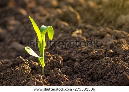 Growing Young Green Corn Seedling Sprouts in Cultivated Agricultural Farm Field, Selective Focus with Shallow Depth of Field