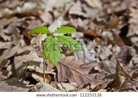 Growing young oak tree from dry leves