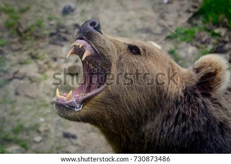 Growling Bear. Captive animal