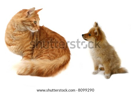 Grown Cat Looking at Tiny Pomeranian Puppy Wondering What to Do