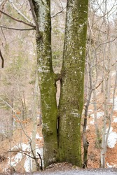 grown together kissing tree in woods forest