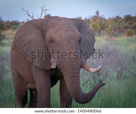 Grown up male elephant who has one broken tusk from a previous battle #1400480066