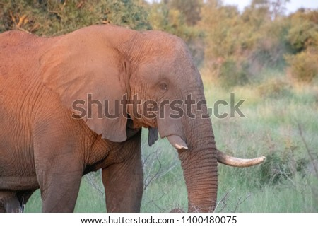 Grown up male elephant who has one broken tusk from a previous battle #1400480075