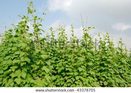 Grows in the vegetable plots of various vegetables,