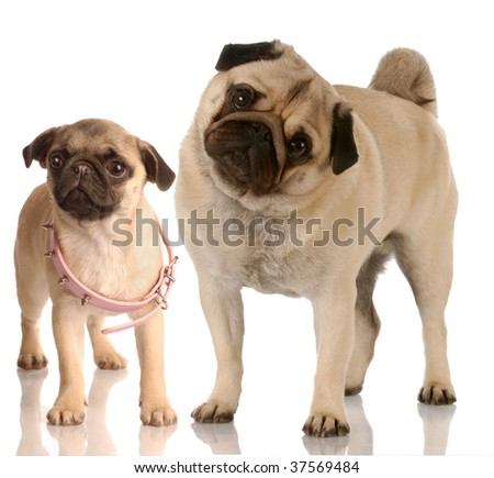 growth - pug standing beside puppy with collar that is too big