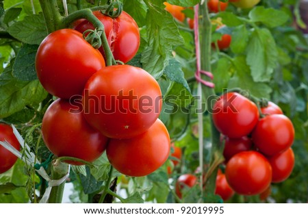 growth ripe tomato in greenhouse