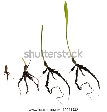 growth wheat isolated