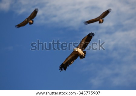 Grroup of three Griffon Vultures Gyps fulvus flying on the blue sky. Foto stock ©