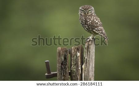 Stock Photo Grumpy! A male little owl looking a bit grumpy!