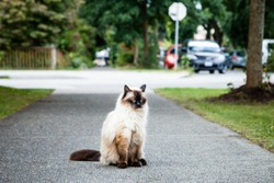 Grumpy and unhappy seal point Balinese (long haired Siamese) pedigreed cat sitting on the sidewalk near a road with grass, trees and cars nearby