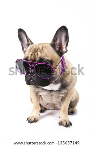 Grumpy French Bulldog with sunglasses