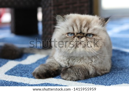 Grumpy Himalayan Cat With Blue Eyes Lounges Outside Сток-фото ©