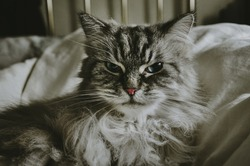 Grumpy Long Hair Cat On Bed